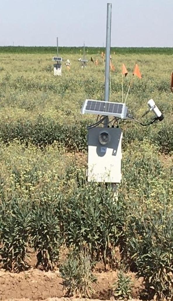 A sensor installed in a guayule field
