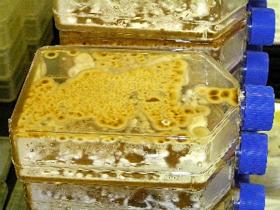 Filamentous fungal cultures growing and sporulating on agar media