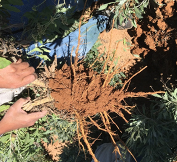 Guayule plant root zone soil used to characterize the root-zone microbiome