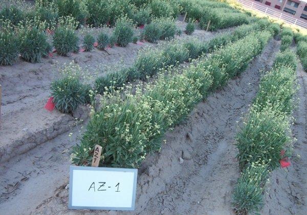 Germplasm line planted in Arizona.