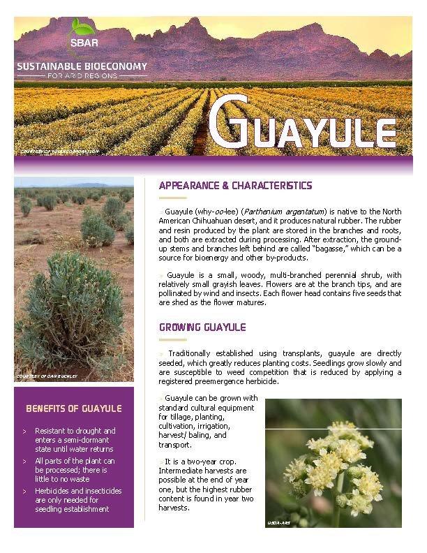 Guayule Fact Sheet