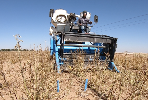 Guar harvest in Clovis, New Mexico