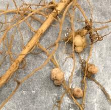 Nodules from the roots of guar plants grown at NMSU's Leyendecker Science Center.