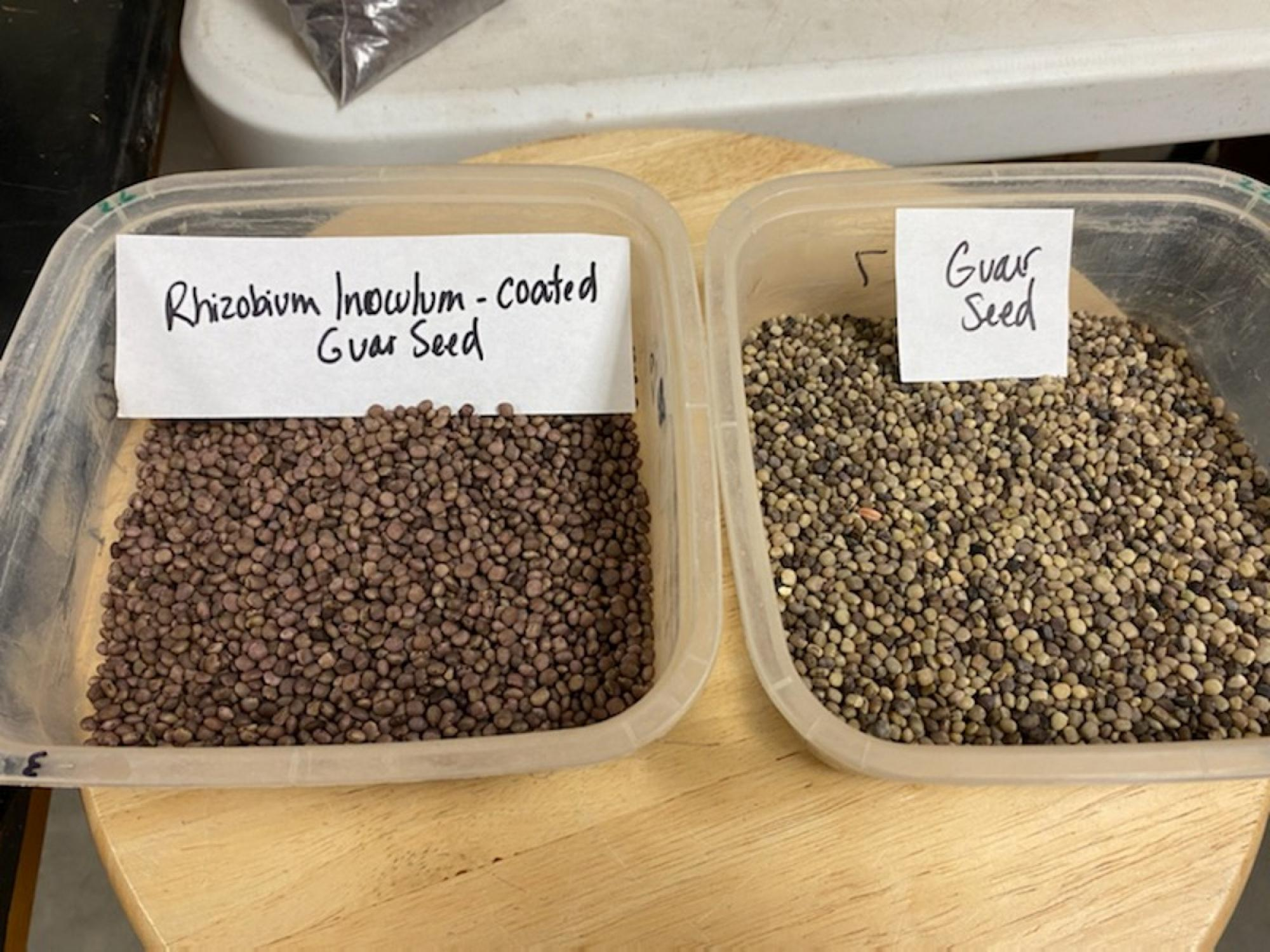 Untreated guar seeds (right) and inoculated guar seeds (left)