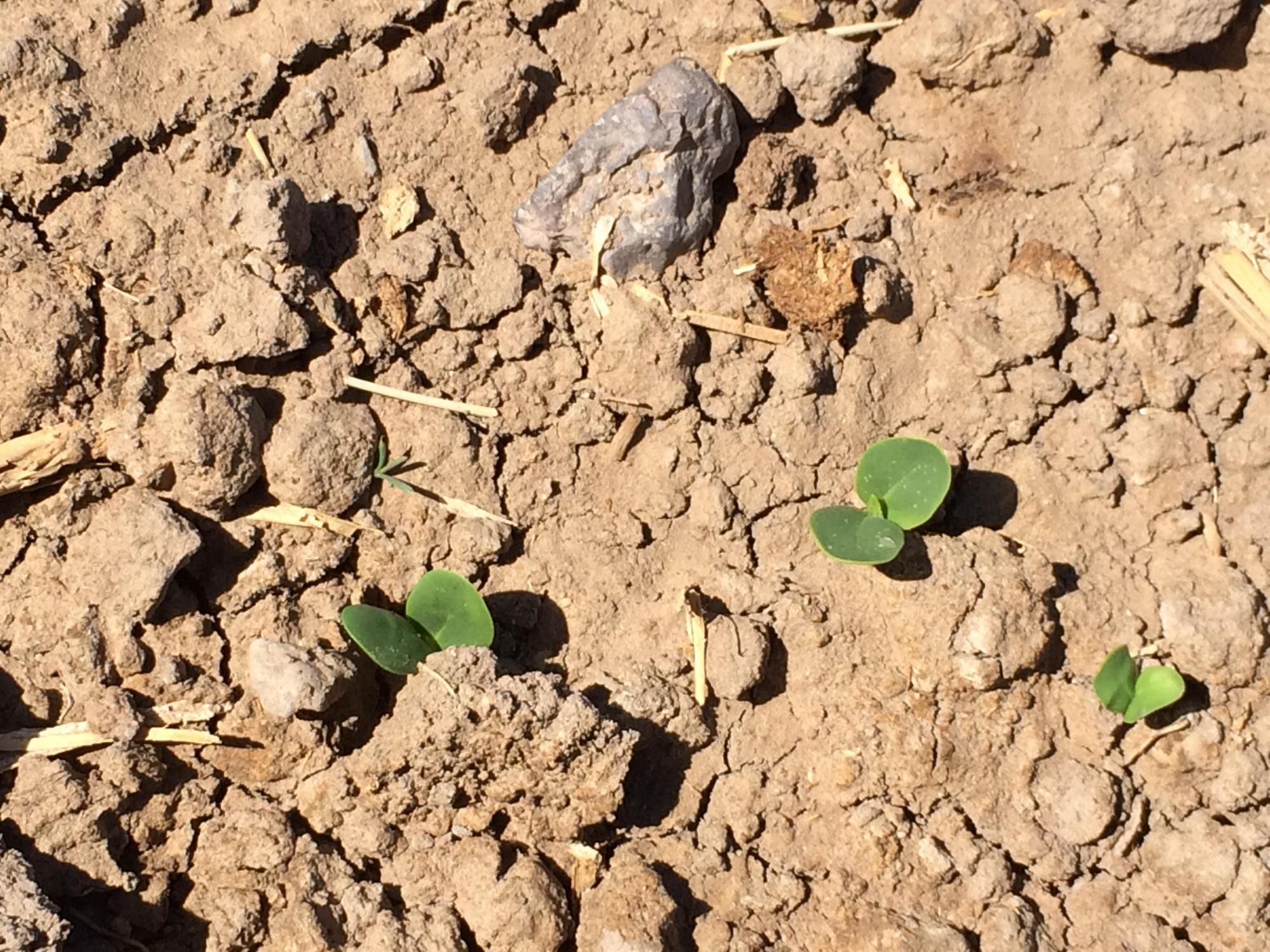 Stage 1 - Guar  emergence (129 Growing Degree Days)