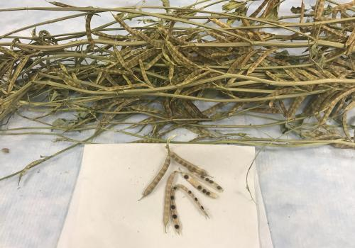 2019 guar seed pods