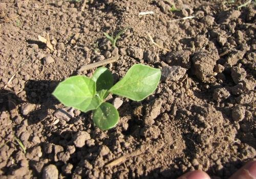 Stage 2 - Unifoliate leaf stage in guar development (249 Growing Degree Days)