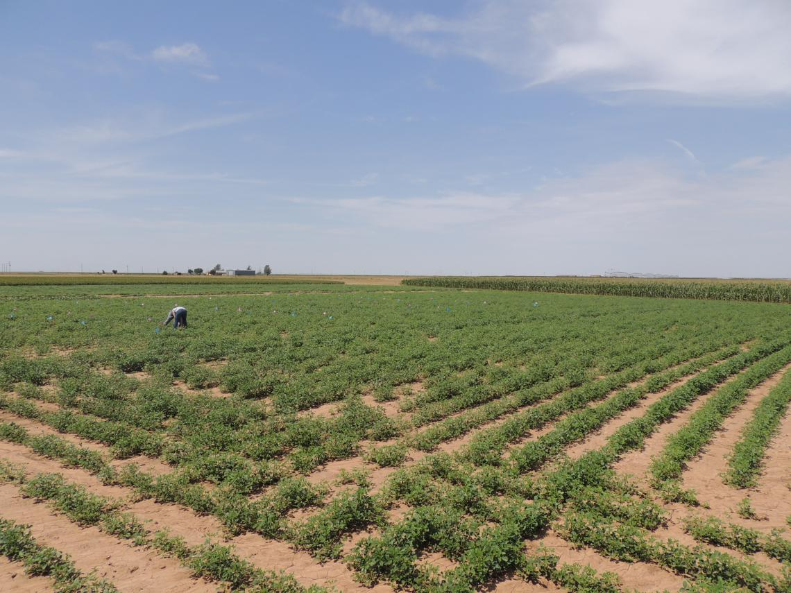 Guar planted at NMSU Clovis Agricultural Science Center in Eastern New Mexico