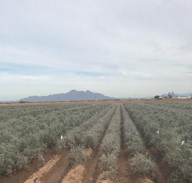 Guayule growing in the field, Eloy, Arizona
