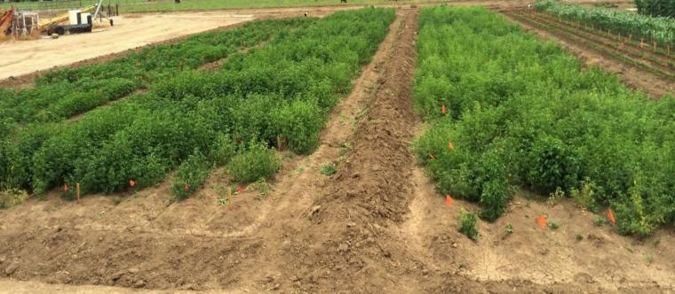 Guar seeds planted at three different times in Las Cruces, New Mexico. (Far left rows planted June 16th, middle rows planted May 15th, far right rows planted April 25th; photo taken in August.)