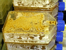 Filamentous fungal cultures growing and sporulating on agar media