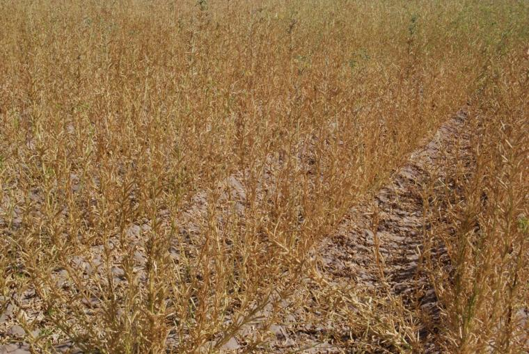 Guar variety trial in Tucson, October 2020 (120 days after planting), just before harvest