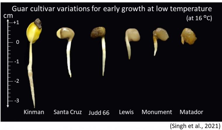 Guar cultivar variations for early growth at low temperature (16°C)