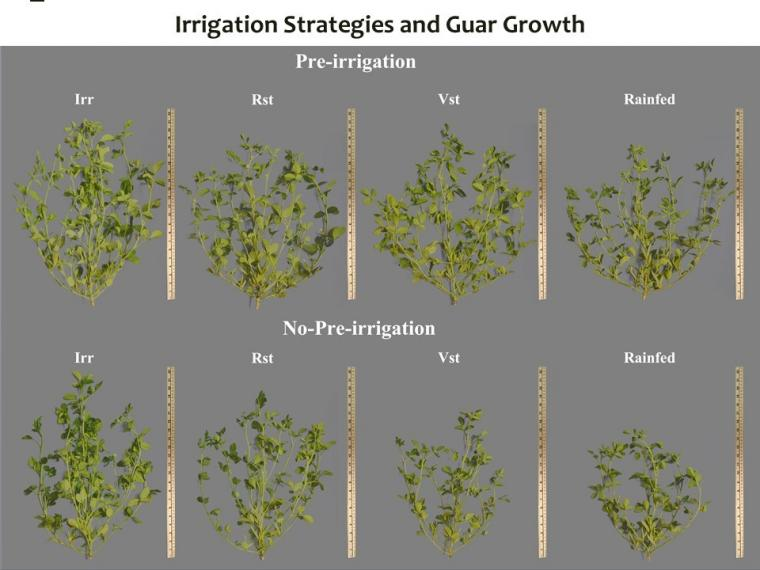 Plant structural growth images taken in November 2020 from guar fields in Clovis, New Mexico