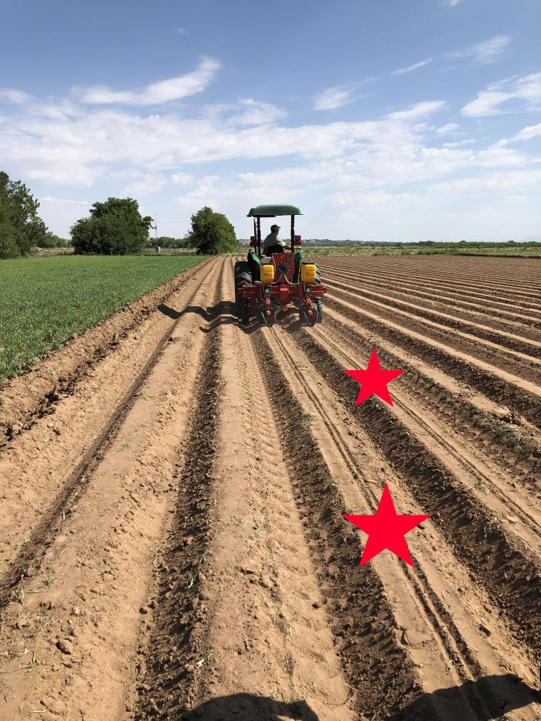 Planting guar on raised beds. Planted rows are shown marked with a star