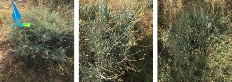 Guayule germplasms