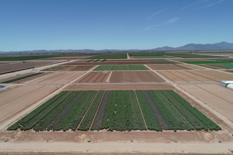 Guayule irrigation treatments at Maricopa Agricultural Center, Arizona