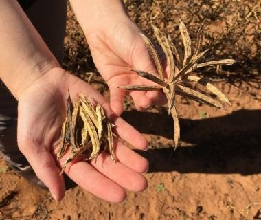 Dry guar seed pods, ready for harvest and processing