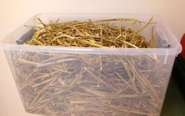 Guar bagasse, mostly stems, collected from the field