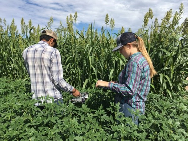 Taking photosynthesis measurements in guar field, New Mexico